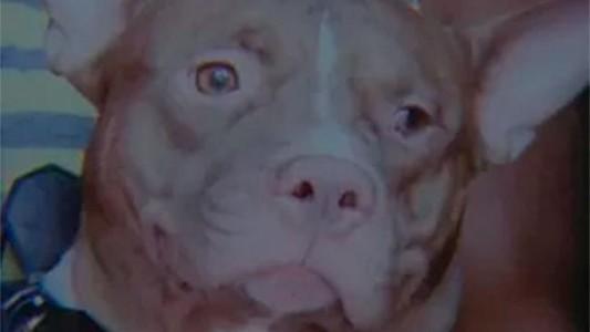 Pitbull-cachorro_1601397
