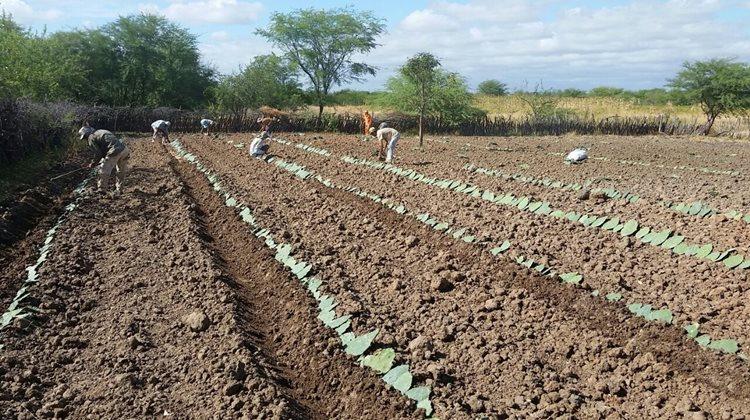 O objetivo do programa é  incentivar a implantação de unidades de palmas forrageiras na zona rural do município, em localidades que tenham o mínimo de água possível/ Foto: ASCOM