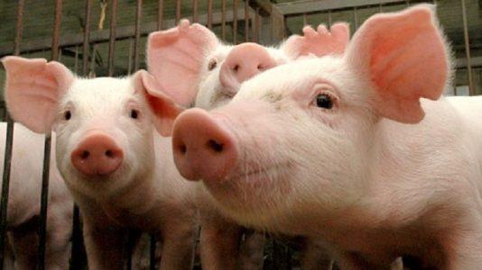 suino porco