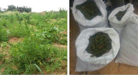 7 mil pés de maconha e 30kg da droga foram incinerados./ Foto: divulgação